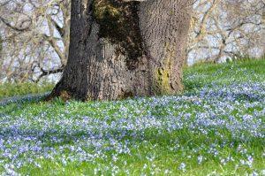 Scilla under the poplar trees