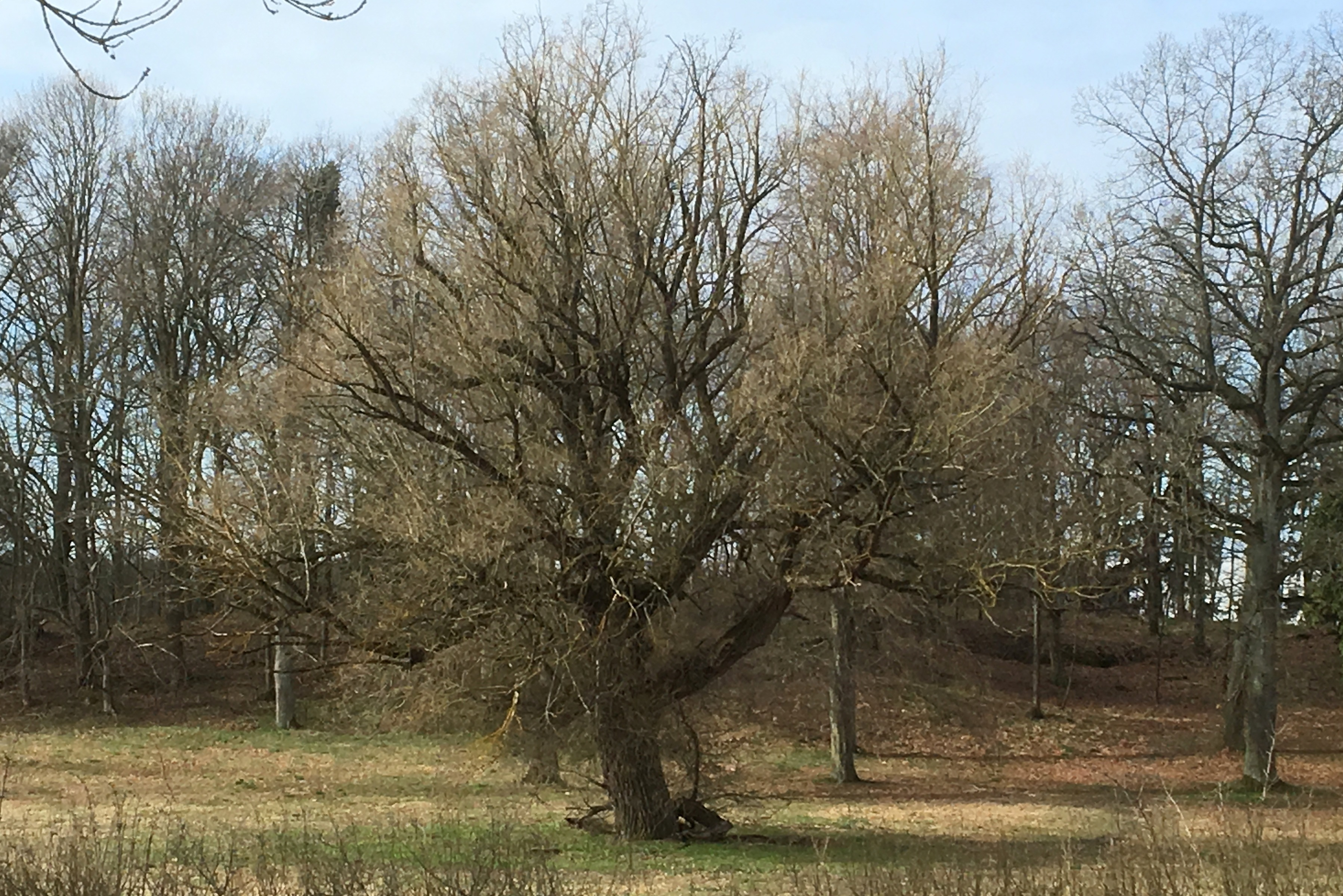 A solitary Linden tree on the lawn of Krusenhof