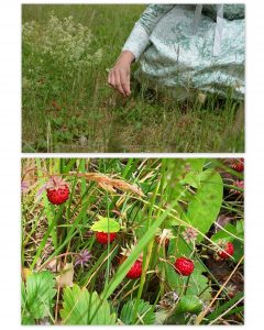 The wild strawberry patch